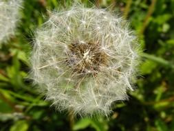Dandelion is a crested plant