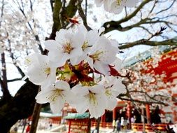 sakura tree blossoms at oriental temple