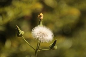 blooming dandelion and closed buds