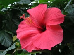red flower of the hibiscus