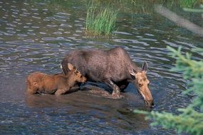 moose cow baby water wildlife national park