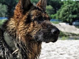 wet german shepherd on the beach
