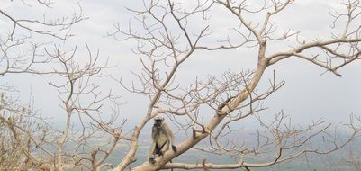 monkey sits on branch of big dry tree