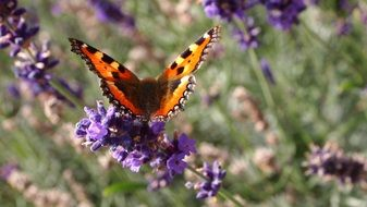 very beautiful butterfly on the lavender flowers