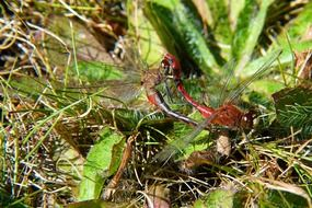 red dragonfly on a green plant in nature