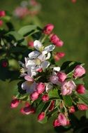 white and pink apple blossoms