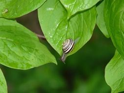 miniature snail on green leaves
