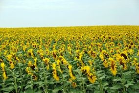 yellow field of blooming sunflowers