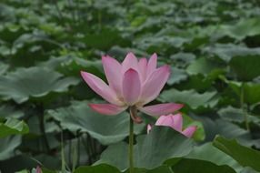 Lotus among large green leaves