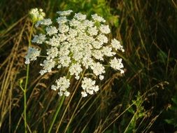 queen ann\'s lace plant