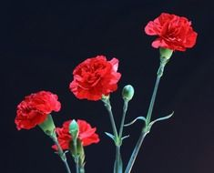 red carnations on a black background