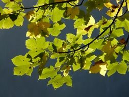 mountain maple leaves on a tree branch