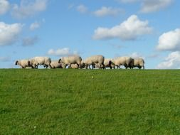 flock of sheep group