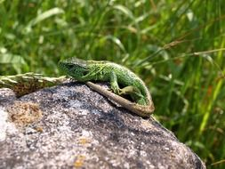 green sand lizard on a gray stone