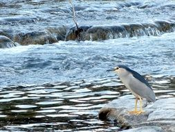black crowned night heron bird near river