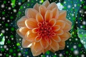 Orange dahlia flower clipart