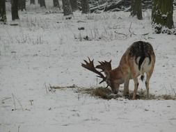 foraging wild fallow deer in winter