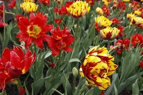 red and yellow double tulips on flower bed