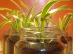 Houseplant in glass jars