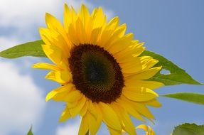 bright yellow sunflower against a blue sky