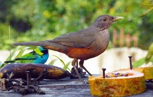tropical bird eating papaya