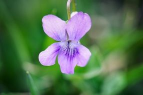 violet flower plant blossom bloom