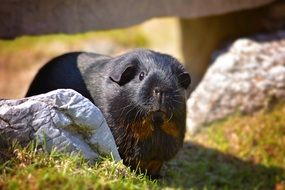 guinea pig small animal nature