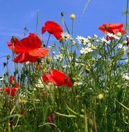 red poppies and daisies on a summer field