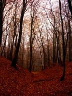 beech autumn forest at dusk