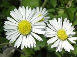 Closeup photo of daisy flowers