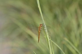 dragonfly on the blade of green grass