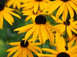 yellow echinacea in field