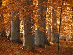 golden autumn in beech forest