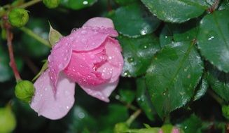 rose on a bush in the drops of water