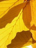 leaves of the Beech in autumn