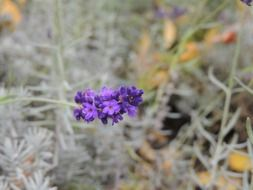 lavender twig with flowers
