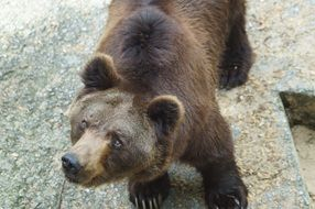 brown bear in a zoo in Russia