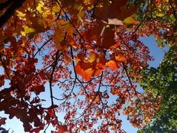Picture of the autumnal maple leaves