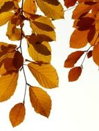 branchs beech with golden leaves