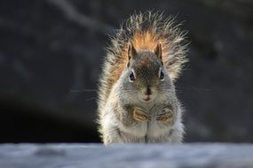 squirrel with furry tail