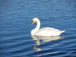 white swan reflected in water