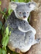 koala bear on a tree trunk