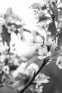 black white photo of apple tree branch with flowers