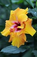 bright yellow hibiscus garden flower