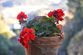 Red geraniums in a pot