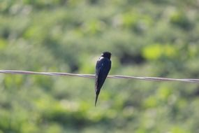black swallow sits on wire
