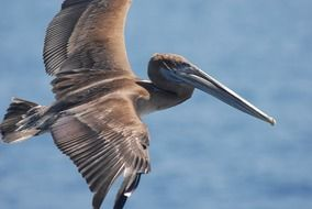 brown pelican in flight over the ocean close-up
