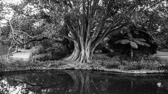 Black and white photo with the large tree near the river