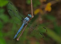 blue dragonfly on a bare branch