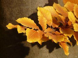 autumn beech leaves on a brown background